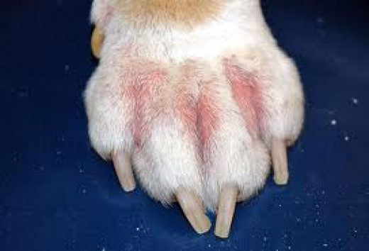 Paw showing the effects of a food allergy.