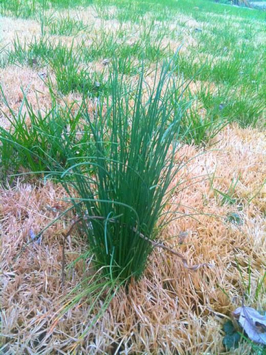 wild onion grass plant