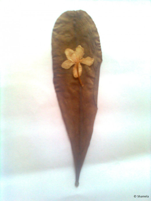 My dried jasmine flower on a leaf. A hug?