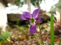Viola betonicifolia (Arrowhead Violet, Arrow-Leaf Violet)
