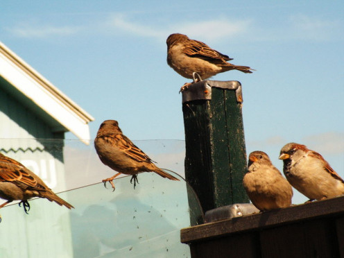 Sparrows have represented the wounded or the helpless in literature and poetry, but Oregon Sparrow Clubs are organized for strength. Read below.
