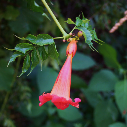 Trumpet vine is another native plant that grows on St. Clement's Island.