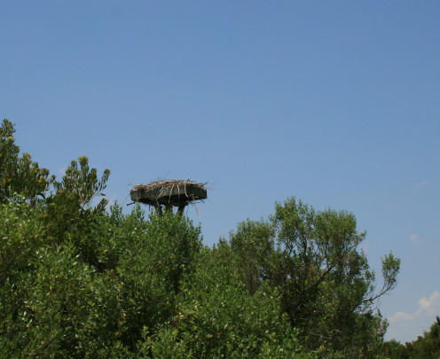Osprey nests are familiar sights on the the island.
