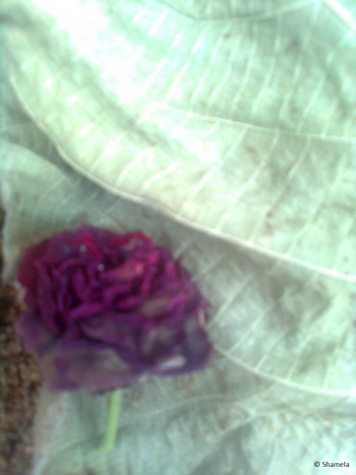 My photo of dried rose on a leaf.
