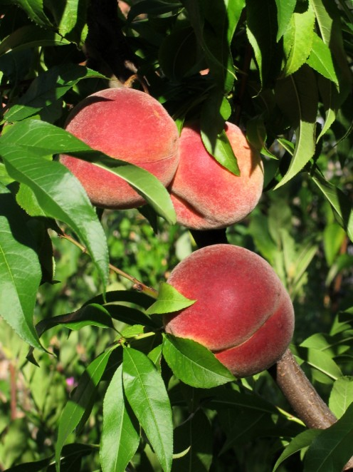Peaches should be pruned in early spring, once the risk of frost has past.