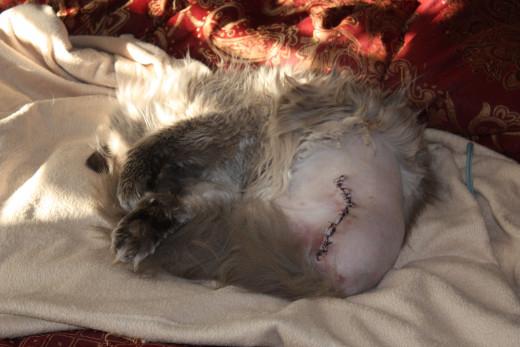 Chewbakha post surgery