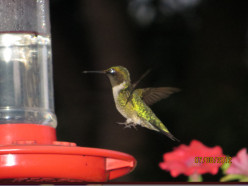 The Hummingbird: A poem