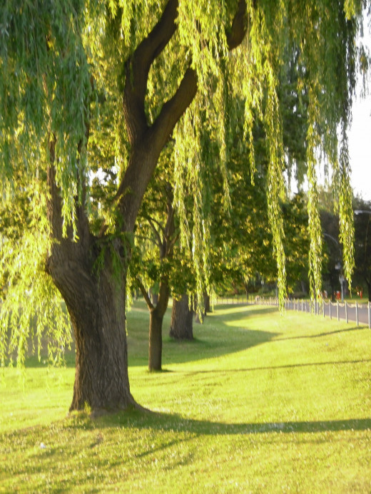 Weeping Willows find water with their penetrating roots. Natural ground cover allows soil penetration of rainwater.