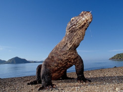 The Komodo dragon, the largest and smarter ancient living lizard in the world