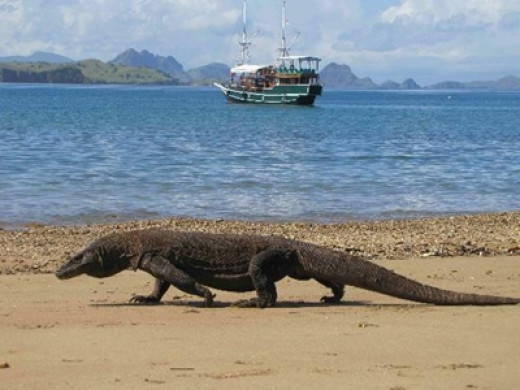 Komodo dragon size - photo#22