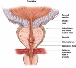 Anatomy of the Prostate