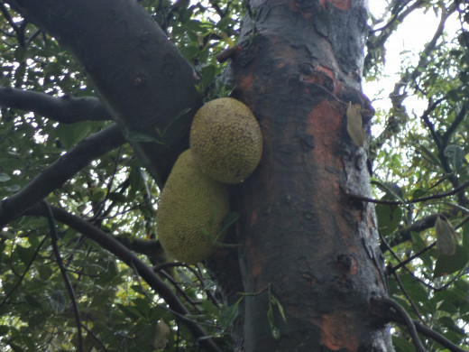 Jack fruit hanging from the tree