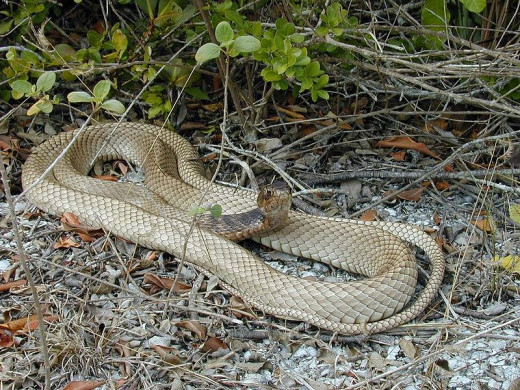 Eastern Coachwhip  By Hunter Desportes [CC-BY-2.0 (http://creativecommons.org/licenses/by/2.0)], via Wikimedia Commons