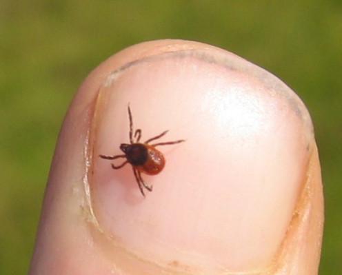 Deer ticks are carriers of Lyme Disease.
