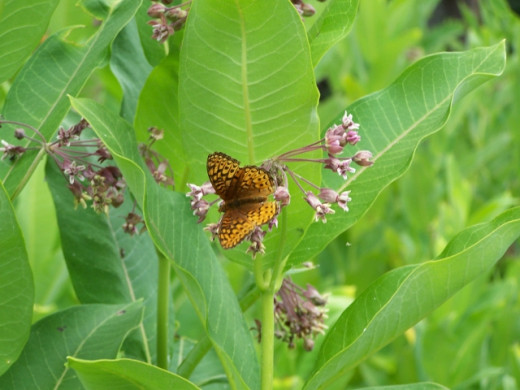 Great Spangled Fritillary butterfly in the milkweed patch.