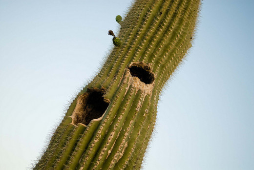 Not only are holes unattractive in the cactus's, they can eventually cause the cactus to become unstable and fall.