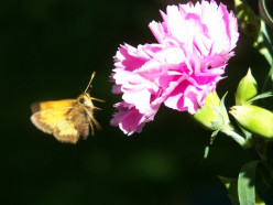 Butterflies In Our Garden and The Flowers They Love. Puddling of Butterflies.