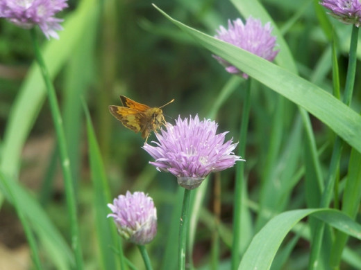 Zabulon Skipper on a chive flower.