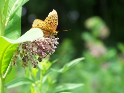 Great Spangled Fritillary butterfly.