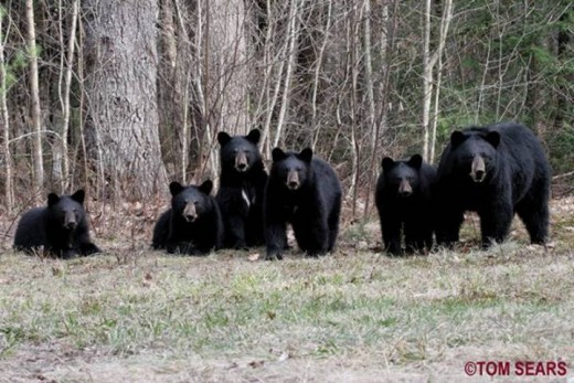 Black Bears are losing their habitats to human encroachment