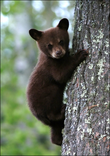 Black bears are excellent tree climbers!