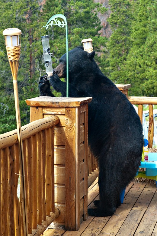 Black Bears are attracted to bird feeders, including hummingbird feeders