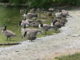 The geese and ducks