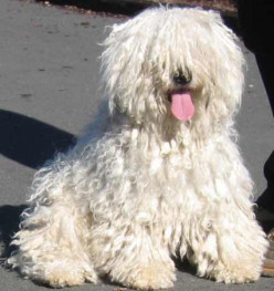 All about the Hungarian Puli - The Mop Dog