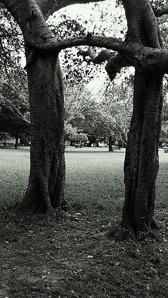 This picture shows the natural brotherhood of the trees. So when trees can be brothers why can't the human beings????
