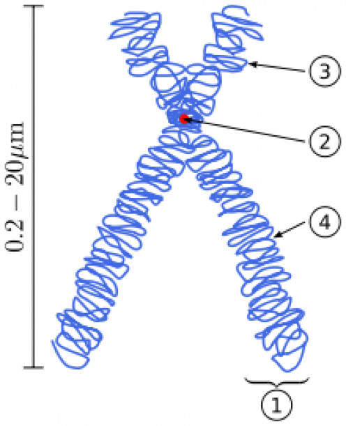 CENTROMERE (2) - WHERE CHROMOSOMES MEET DURING MYTOSIS (REPLICATION)