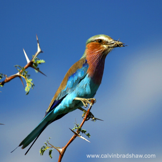 Lilac-breasted Roller (Coracias caudata), with grasshopper meal, on acacia tree, in Botswana Africa.