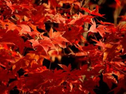 Autumn Sugar Maple