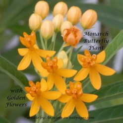 Monarch Butterfly Plant with Golden Yellow Flowers