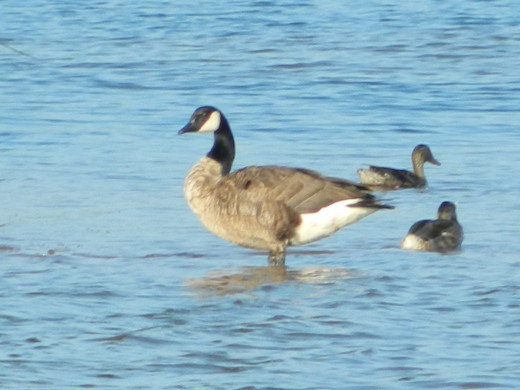 Canada Goose with Mallards
