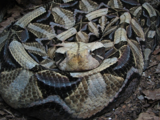 Gabbon viper