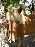 What are Icelandic Horses?