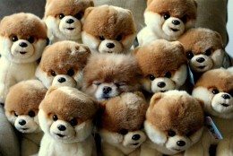 Boo The Dog Asleep With A Bunch Of Boo's