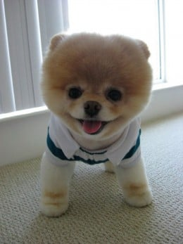 Is Boo The Dog The Cutest Dog Ever?