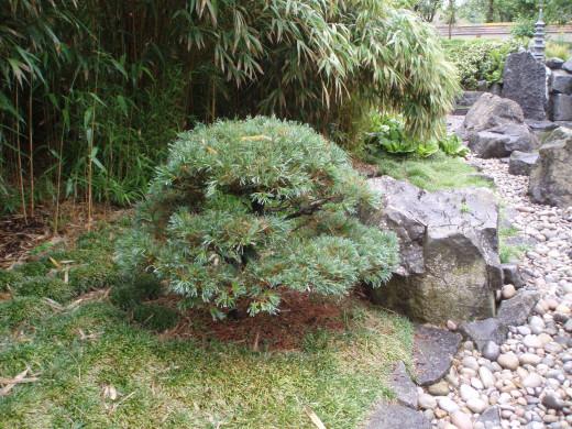 Parviflora pine in a garden