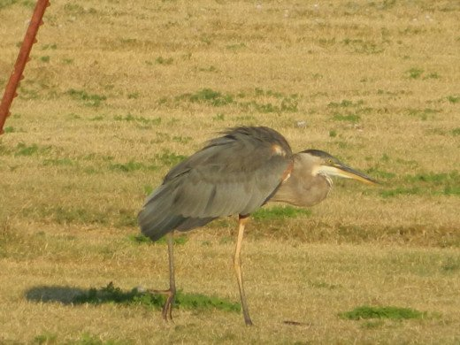 Great Blue Heron wandering about on land?