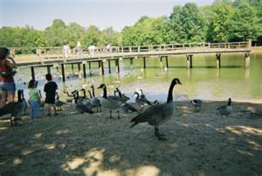 The geese are bigger than the kids in Olive Branch, Mississippi