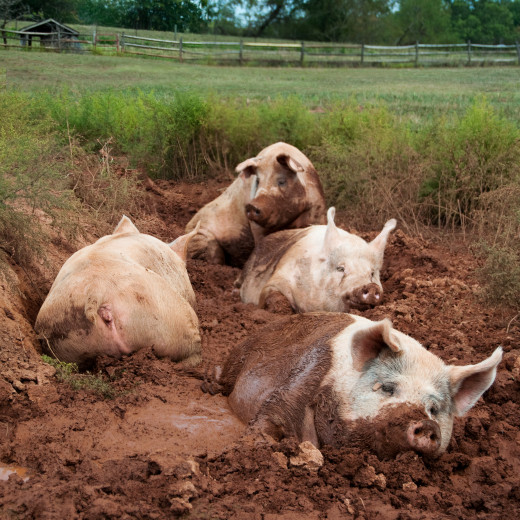 Pigs and children look remarkably alike once covered in mud.