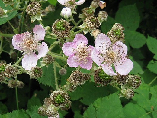 Himalayan Blackberry Plants Invasive Noxious And