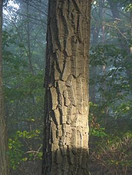Chestnut oak bark