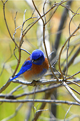 Bluebirds own such beautiful coats!