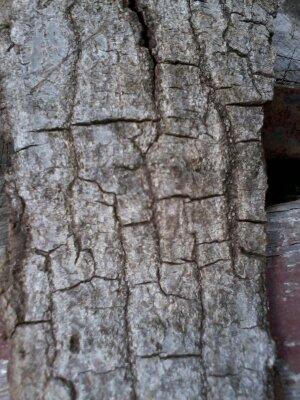 Scarlet oak bark, mature tree