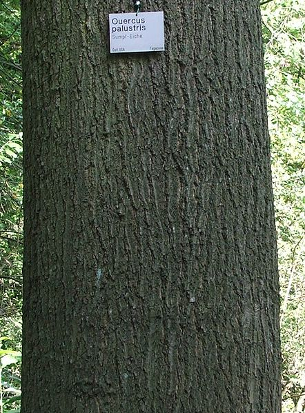 Pin oak bark