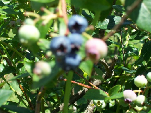 Close up on growing blueberries