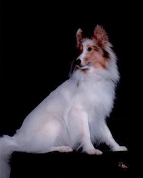 Jericho, a sable merle color headed white Shetland Sheepdog.