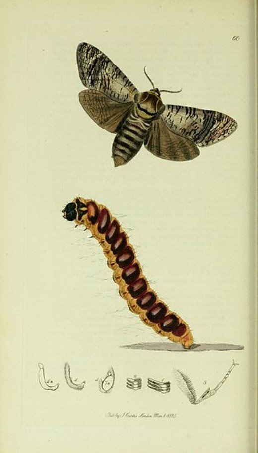 Goat Moth Illustration from British Entomology. Copyright expired and in Public Domain.